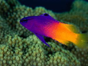 Fairy Basslet (Gramma Loreto), South of Prince Rupert Bay, Portsmouth, Portsmouth, Dominica by Michael Lawrence