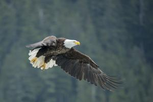 A Bald Eagle in Flight Near Petersburg, Inside Passage, Alaska by Michael Melford