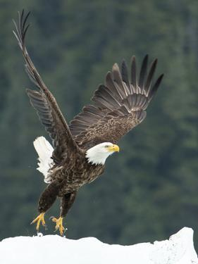 A Bald Eagle Takes Flight Near Petersburg, Inside Passage, Alaska by Michael Melford