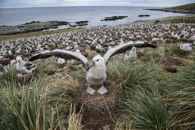 A black-browed albatross extends its wings in front of the albatross colony on the beach. by Michael Melford
