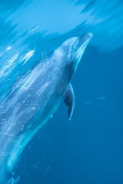 A Bottlenose Dolphin Bow Riding by Michael Melford