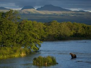 A Brown Bear Wading in a River in the Kronotsky Nature Reserve by Michael Melford