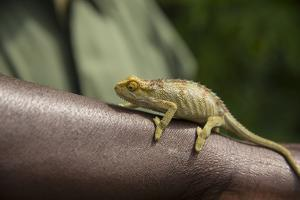 A Chameleon Perched on a Guide's Arm by Michael Melford