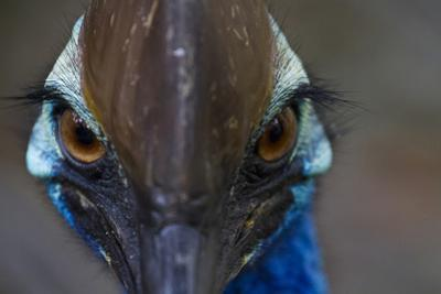 A Close Up of a Southern Cassowary, a Flightless Bird by Michael Melford