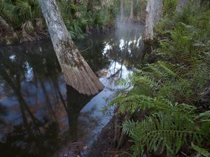 A Cypress Tree Grows in Reflective Water of the Loxahatchee River by Michael Melford