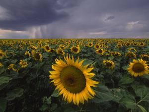 A Field of Sunflowers under a Dark and Stormy Cloud-Filled Sky by Michael Melford