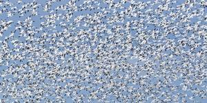 A Flock of Birds Fly Near the Front Range of the Rocky Mountains in Montana by Michael Melford