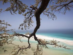A Frankincense Tree Anchors Itself on the Cliffs by Michael Melford