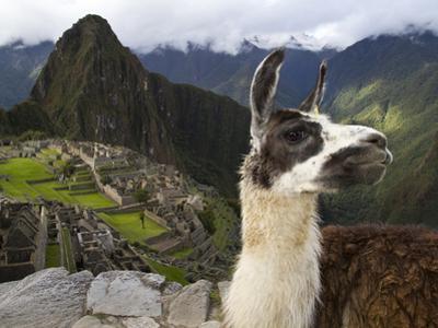 A Llama on a Road Above Machu Picchu