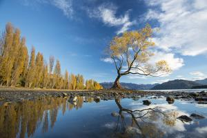 A Lone Cottonwood Tree on Stands on the Bank of Lake Wanaka by Michael Melford