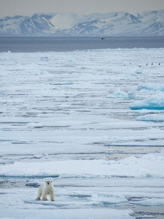 A Lone Polar Bear Traverses the Pack Ice on Hinlopen Strait by Michael Melford