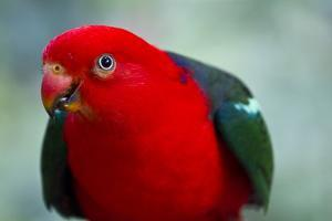 A Male Eclectus Parrot by Michael Melford