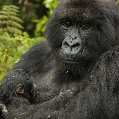 A Mother Mountain Gorilla and Her Child, from the Umubano Group by Michael Melford