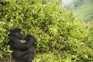A Mountain Gorilla from the Umubano Group, Sitting in the Bushes by Michael Melford