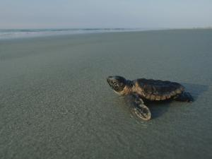 A Newly-Hatched Loggerhead Sea Turtle Heads for the Water by Michael Melford