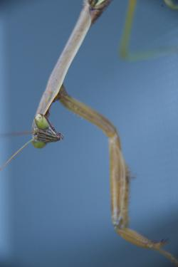 A Praying Mantis by Michael Melford