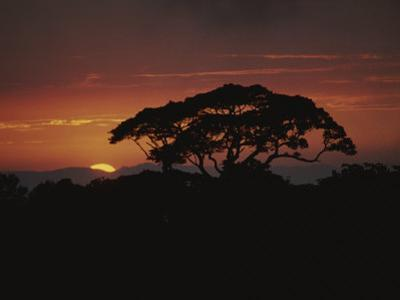 A Rain Forest Tree Silhouetted against the Evening Sky by Michael Melford