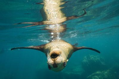 A Sea Lion Swimming Off Isla Los Islotes by Michael Melford