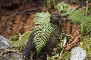 A Weka on Milford Track in Fiordland National Park by Michael Melford