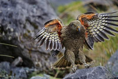 An Alpine Parrot known by its Maori Name, Kea by Michael Melford