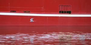 An Arctic Tern Flying Past a Ship in Harbor in Siglufjordur by Michael Melford