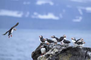 Atlantic Puffins on a Rock at Vigur Island in Isafjordur Bay by Michael Melford