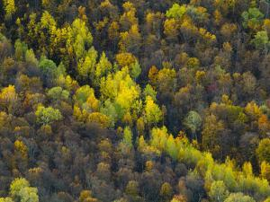Birch Trees Holding onto their Leaves as Fall Passes its Peak by Michael Melford