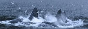 Birds Clusters over a Pod of Humpback Whales Bubble Net Feeding in the Inside Passage by Michael Melford