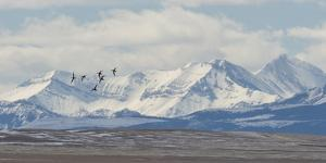 Birds Fly Near the Front Range of the Rocky Mountains in Montana by Michael Melford