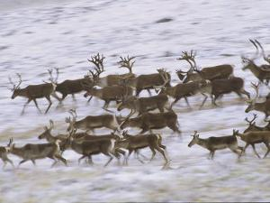 Caribou Herd Running on Winter Tundra, Alaska by Michael Melford