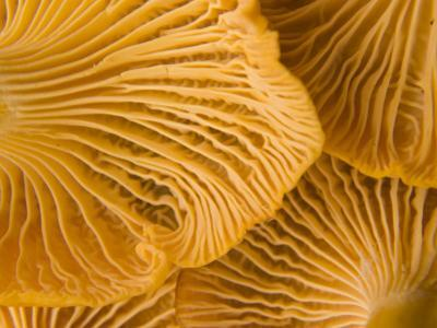 Chanterelle Mushrooms Found in the Kronotsky Nature Reserve by Michael Melford