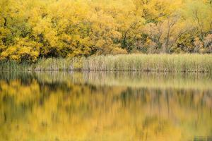 Cottonwood Trees in Autumn Along Lake Wanaka by Michael Melford