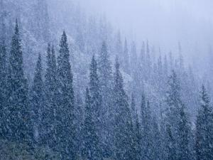 Early snowfall on evergreen trees on the west side of Logan Pass by Michael Melford