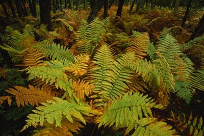 Ferns with Fall Colors in a Woodland at Pretty Marsh by Michael Melford