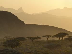 Frankincense Trees Grow in Homhil by Michael Melford