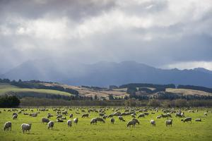Grazing Sheep in Fiordland National Park by Michael Melford