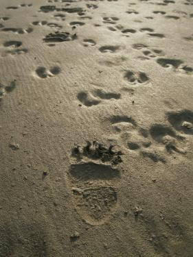 Grizzly Bear and Caribou Tracks, Firth River, Yukon Territory by Michael Melford