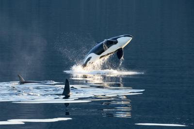 Killer Whales, or Orcas Leaping and Swimming in Frederick Sound, Inside Passage, Alaska by Michael Melford