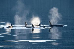 Killer Whales, or Orcas Swimming in Frederick Sound, Inside Passage, Alaska by Michael Melford