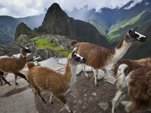 Llamas on a Road Above Machu Picchu by Michael Melford