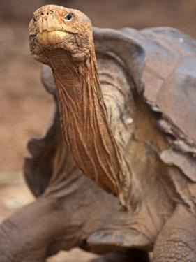 Lonesome George Is the Last of His Species of Giant Tortoise by Michael Melford