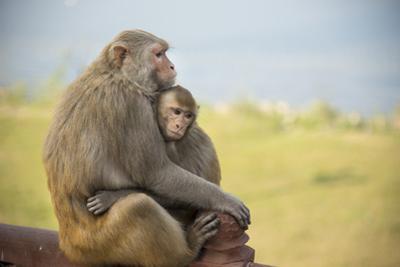 Monkeys Cuddling at the Taj Mahal by Michael Melford