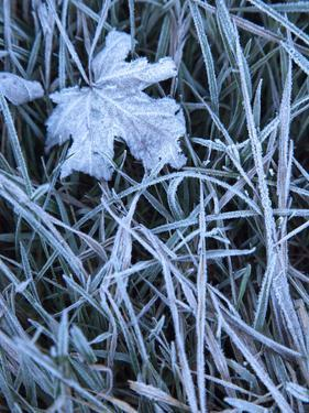 Morning Frost on a Maple Leaf and Grass by Michael Melford