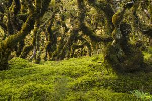 Moss, Lichen, Liverwort, and Other Clinging Greenery Cover Tree Limbs by Michael Melford