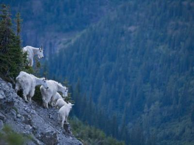 Mountain goats, adult and juvenile, on a mountain side by Michael Melford