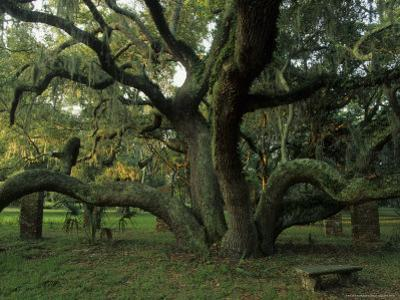 Old Live Oak Draped with Spanish Moss by Michael Melford