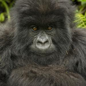 Portrait of a Mountain Gorilla from the Umubano Group by Michael Melford