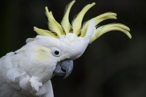 Portrait of a Sulphur-Crested Cockatoo by Michael Melford