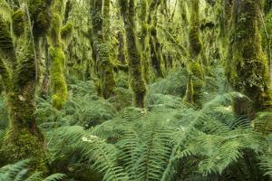 Rain Forest on Milford Track in Fiordland National Park by Michael Melford