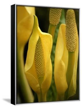 Skunk Cabbage in Flower by Michael Melford